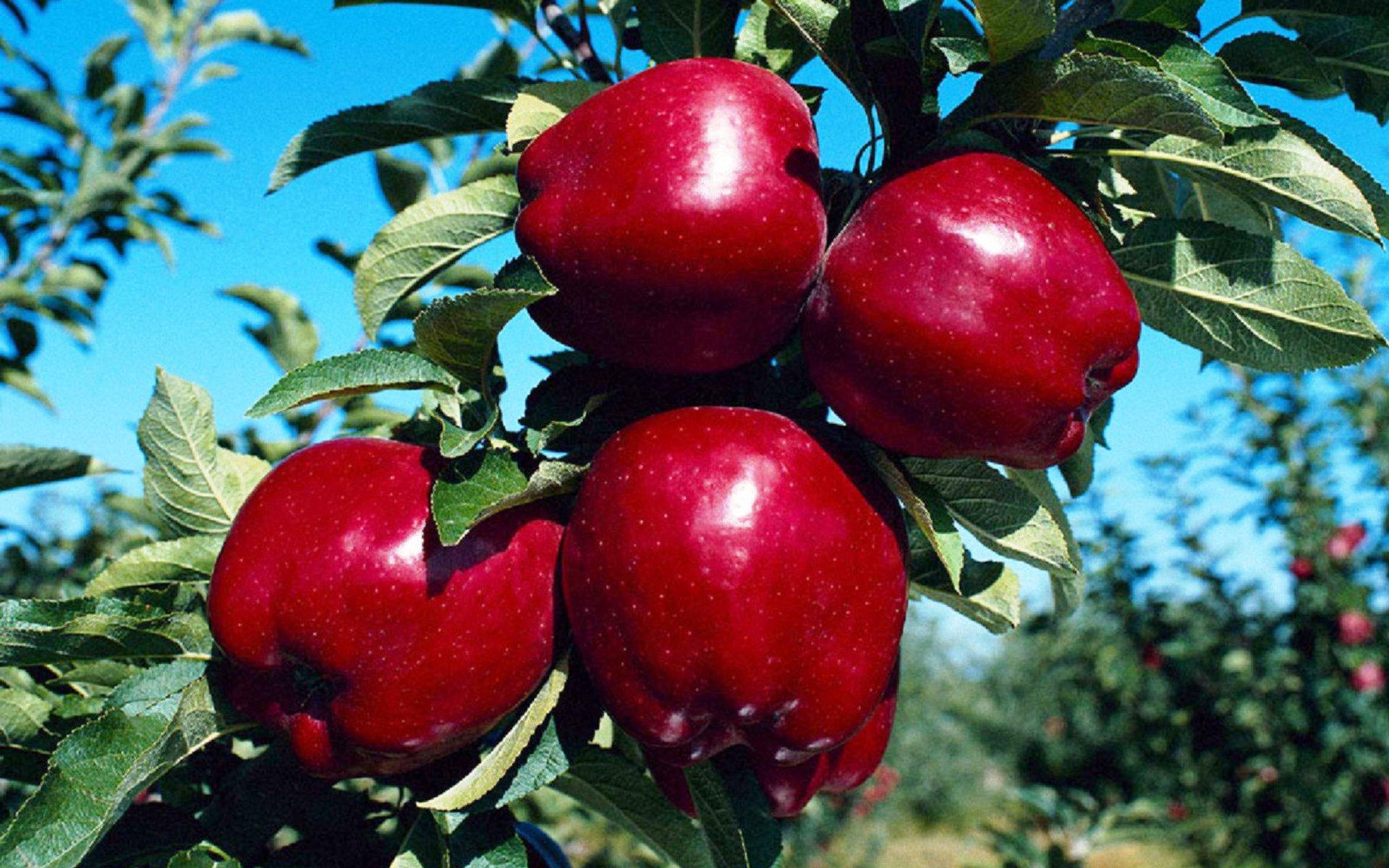 Как правильно праздновать Яблочный Спас?