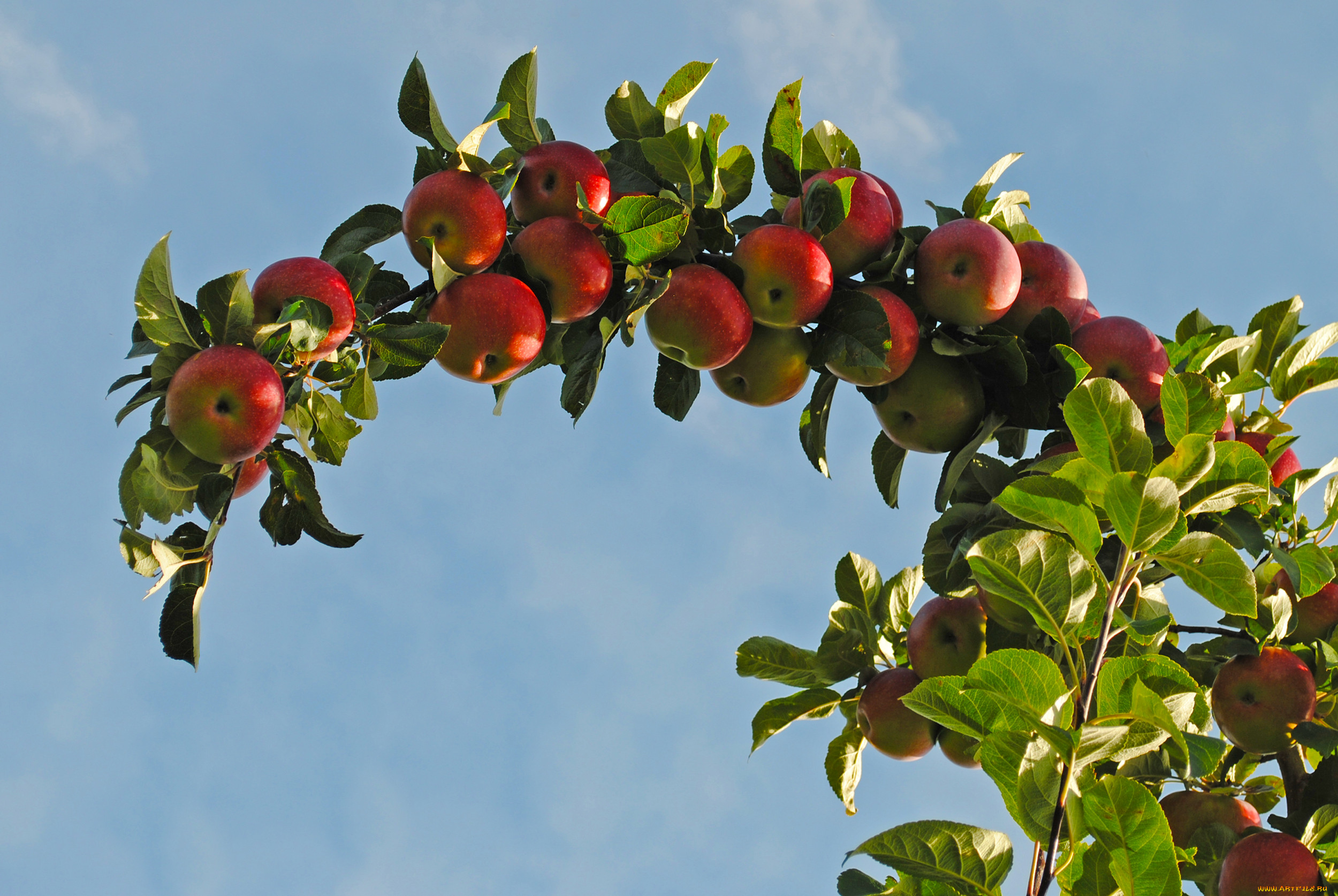 Короткие и оригинальные пожелания с Яблочным спасом для близких и друзей